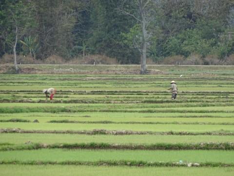 Rijst velden