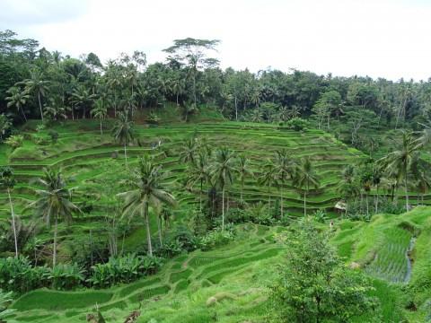 Tegallalang rijstvelden